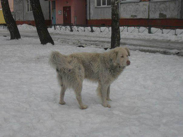 """Великий білий собака часто """"гризе"""" сумки і пакети, вистрибує на перехожих і ..."""