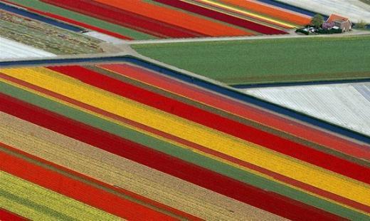 Поля тюльпанів – Ліссе, Нідерланди